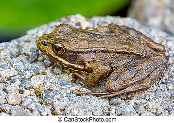 Pacific Tree Frog Closeup - Pacific Chorus Tree Frog of the...