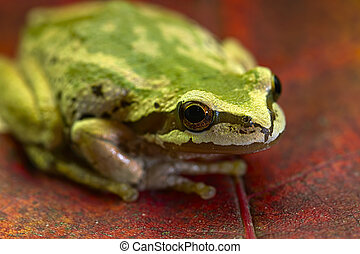 Pacific Tree Frog on Maple Leaves 2 - Pacific Tree Frog...