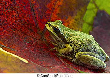 Pacific Tree Frog on Maple Leaves