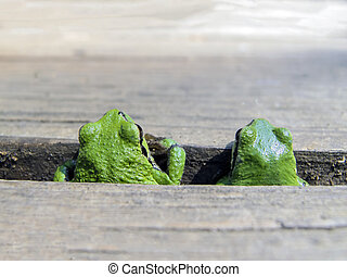 Pacific Tree Frog Pair - A male and female Pacific Tree Frog...