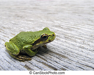 Pacific tree frog (Pseudacris regilla) - Macro photo of a...