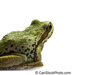 Pacific Tree Frog Sitting 2 - Pacific Tree Frog Sitting on...