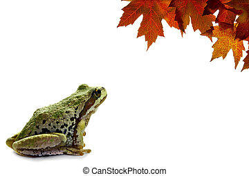 Pacific Tree Frog Sitting with Fall Maple Leaves - Pacific...