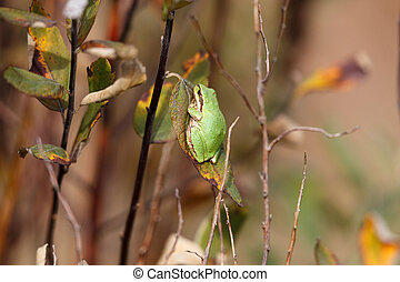 Pacific Treefrog in vancouver bc canada