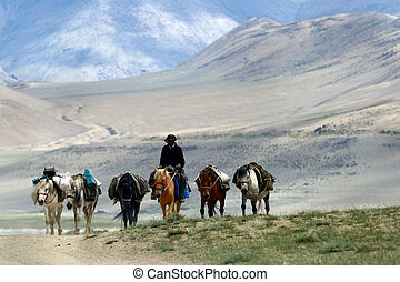 Pack horses and driver ride on the high mountains of the desert: off-road, horses go in row, the person's face is covered with a hat, Tibet.