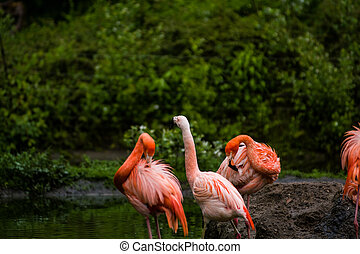Pack of bright birds in a green meadow near the lake. Exotic flamingos saturated pink and orange colors with fluffy feathers