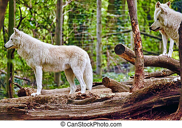 Pack of gray wolves (canis lupus) in its natural habitat.