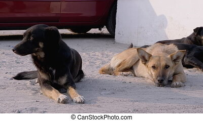 Pack of Homeless Dogs Lie on the Street. Four Guard Dogs on ...