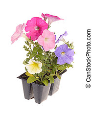 Pack containing seedlings of petunia plants flowering in multiple colors ready for transplanting into a home garden isolated against a white background