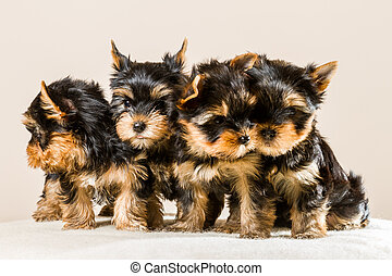 Pack of puppies Yorkshire isolated on white