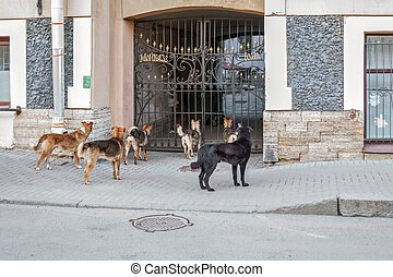 Pack of stray dogs.