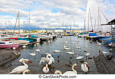 Pack of swans on the lake in Geneva, Switzerland