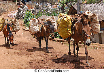 Pack ponies - Ponies carrying fruit produce in northern ...