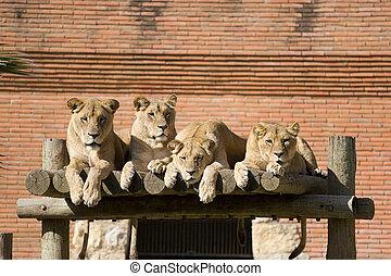 packe, av, lejonen