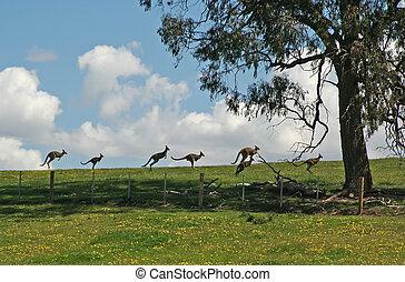 paddock, bovenzijde, kangoeroes