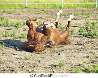 paddock, paarde, arabisch, zuring