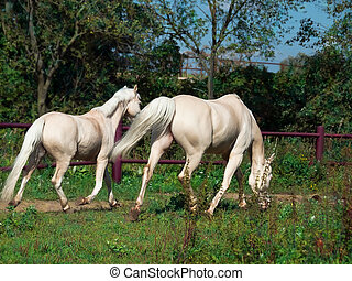paddock, paarde, pony, rennende , palomino