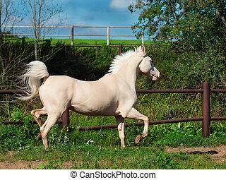 paddock, rennende , paarde, room