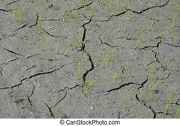 paddy dying by dry season