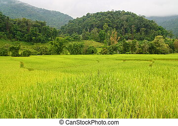 paddy field , Chiang Mai, Thailand