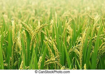 Paddy field in autumn