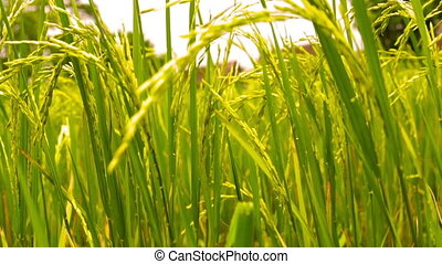 Paddy Field in front of a farm house