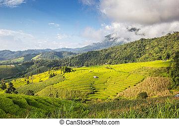 Paddy field - Landscape shot paddy field and blue sky