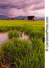 Paddy field on a gloomy evening at Kota Marudu, Sabah, East...