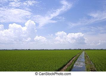 Paddy field of Sekinchan, Malaysia.