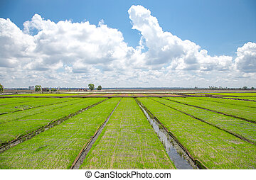 Paddy field with blue sky
