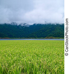 Paddy field with misty mountain