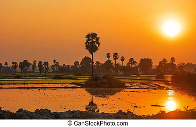 Paddy fields and palm trees under sun set in Andhra Pradesh India
