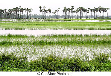 Paddy Fields - lush green paddy fields in India near...