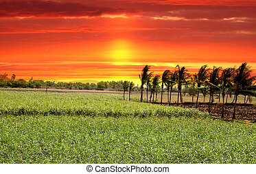 Paddy Fields - Paddy field in India against bright red skies