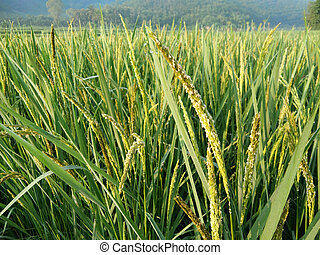 Paddy green Rice Fields, rice seed in farm