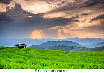 Paddy Green sunset view Beautiful Chiang Mai Northern Thailand