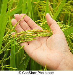 Paddy in farmer hand