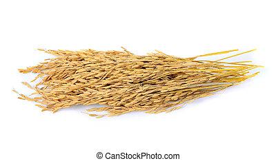 paddy jasmine rice on white background