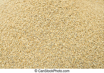 Paddy jasmine rice texture for background and wallpaper in gold color. Thai farmer dry paddy jasmine rice on ground under strong sunlight after harvest