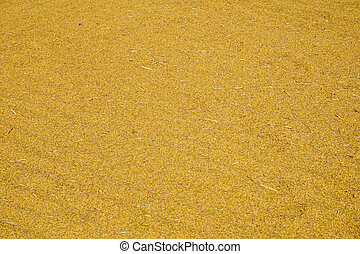 Paddy jasmine rice texture for background and wallpaper in gold color. Thai farmer dry paddy jasmine rice on ground under strong sunlight after harvest and before keep in storeroom