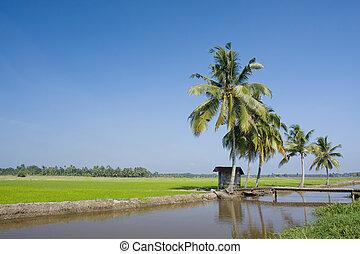 paddy landscape