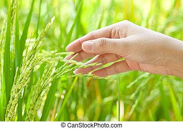 paddy, Reis,  closeup, Auf,  Hand