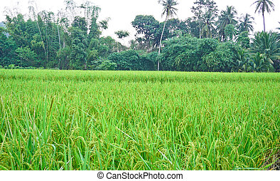 Paddy rice field in the morning background