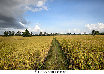 paddy rice field ready for harvest.