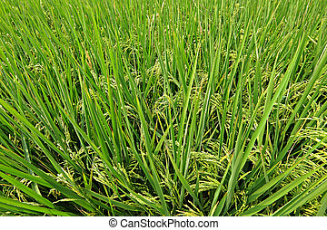 paddy rice field