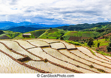 Paddy - rice fields at pa pong peang chiang mai asia Thailand