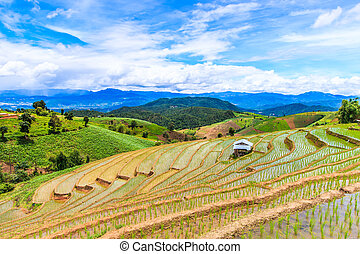 Paddy - rice fields at pa pong peang chiang mai asia ...