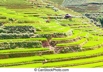 Paddy rice fields - Beautiful view of a paddy rice fields