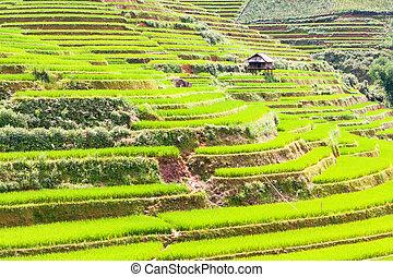 Paddy rice fields - Beautiful view of a paddy rice fields