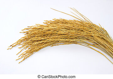 paddy rice on isolate white background.